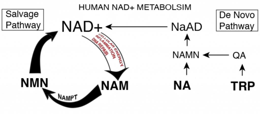 NMN NAD Pathway